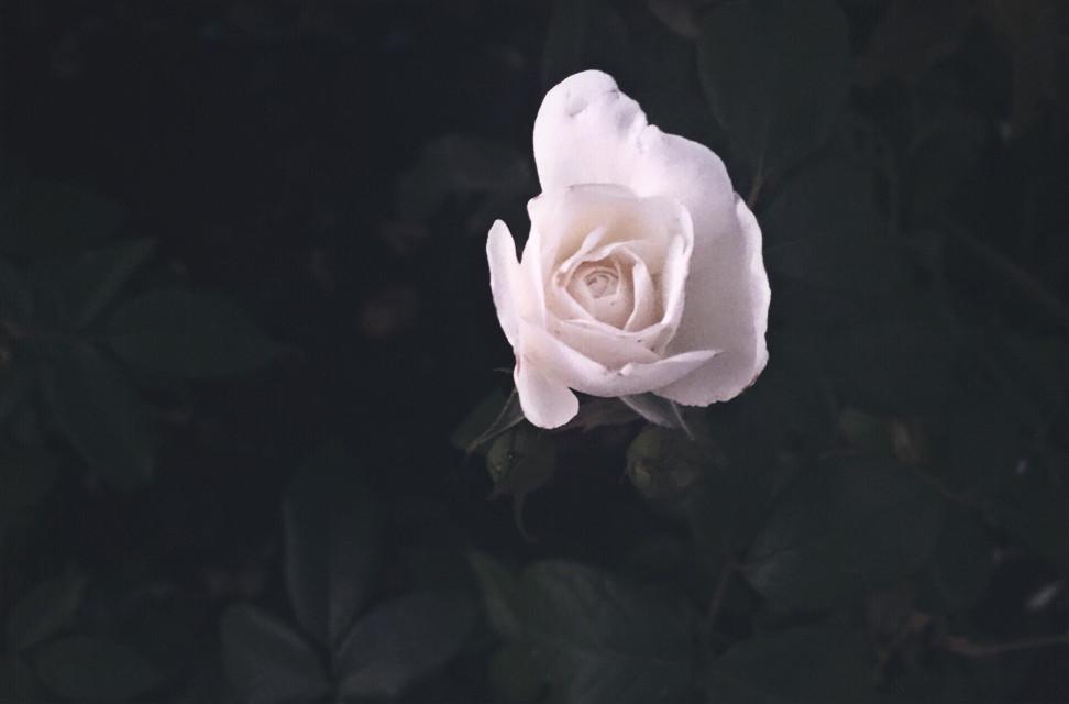 #nature #flowers #naturesbeauty #singleflower #whiterose #naturephotography