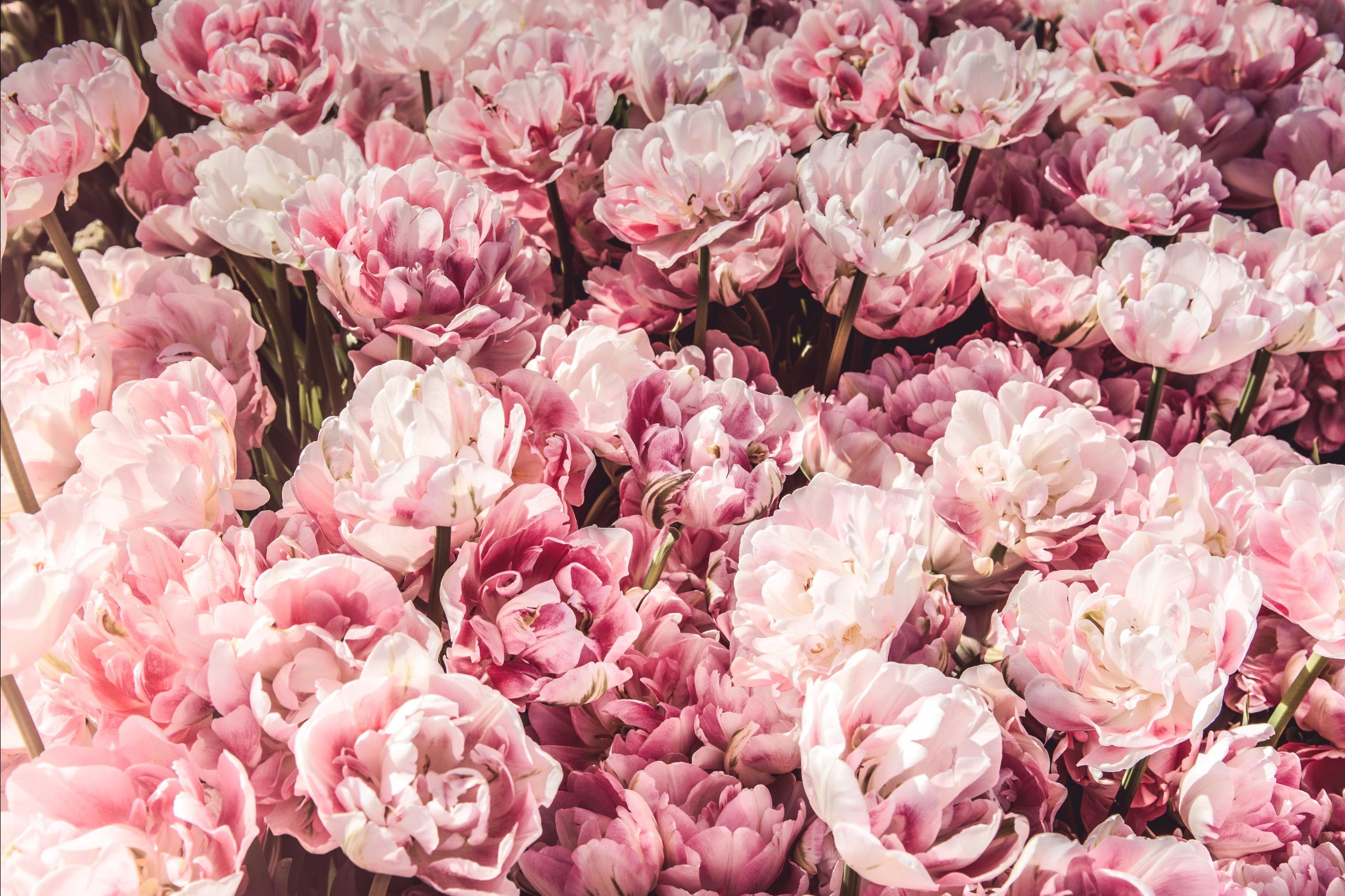 Give us your best edit!Unsplash (Public Domain)#FreeToEdit #flowers #pink #PastelColor #backgrounds #nature #texture #light #shadow #smell