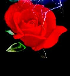rose rosesflower