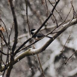 birds nature winter snow phonephotography freetoedit