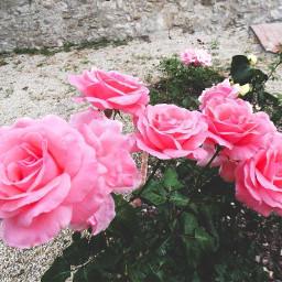 nature summer flower rose roses