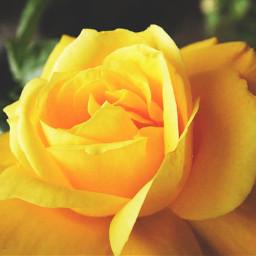 rose summer flower yellow beautiful