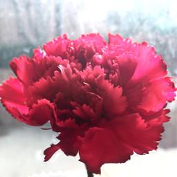 happyvalentinesday flower singleflower carnation purephotography pcred