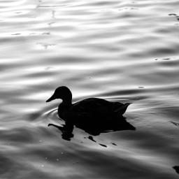 nature duck silhouette blackandwhite photography