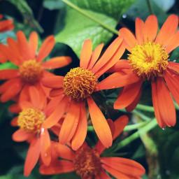 freetoedit flowers color peddles myphoto