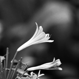 photography blackandwhite flower nature emotions freetoedit