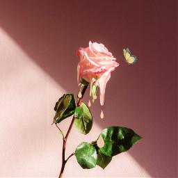 rose melt meltingrose butterfly flower freetoedit