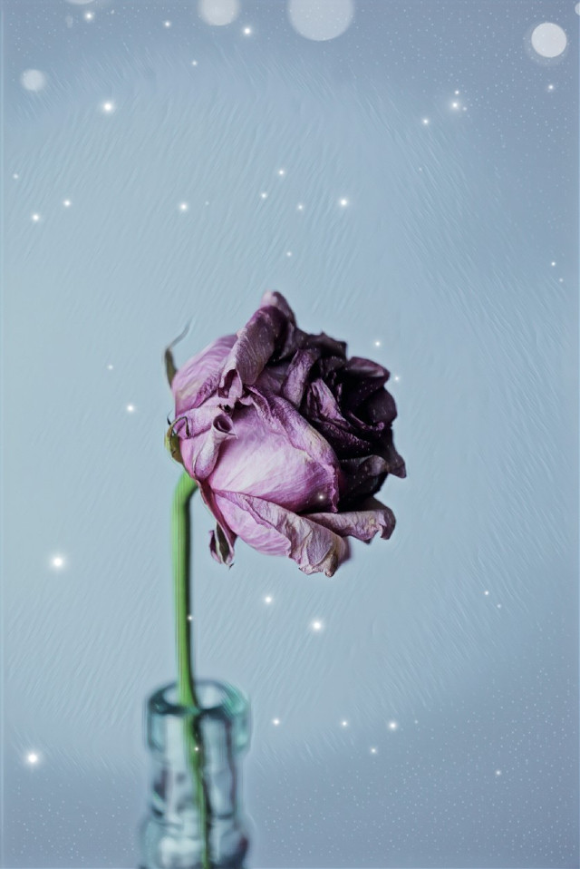 #freetoedit  #afternoon  #flower  #rose  #fridayfun