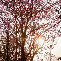 freetoedit spring pink tree sunrise