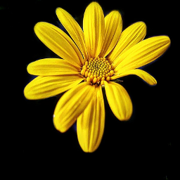 photography yellow daisy flower emotions freetoedit