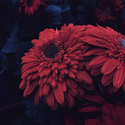 freetoedit flowers background redflowers