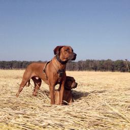 mydogs ridgeback dogwalk dogs pchappiness