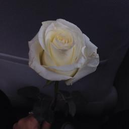 rose whiterose aesthetic aesthetictumblr aestheticallypleasing freetoedit