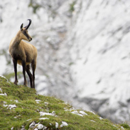 freetoedit goat mountain nature travel