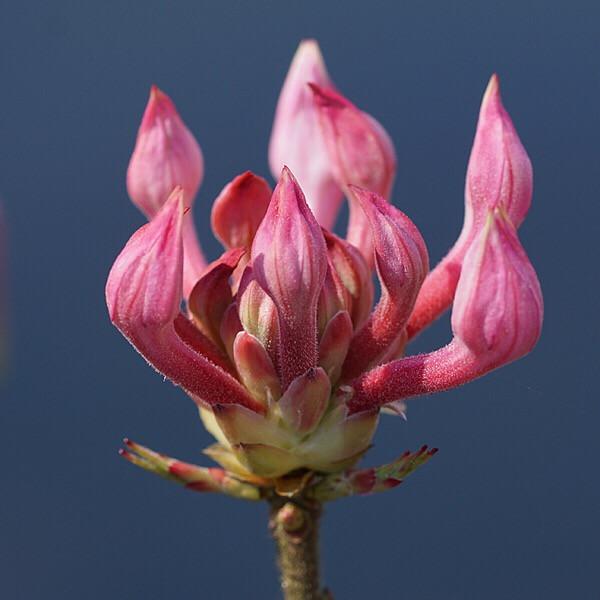 #freetoedit  #nature  #flowers  #pink