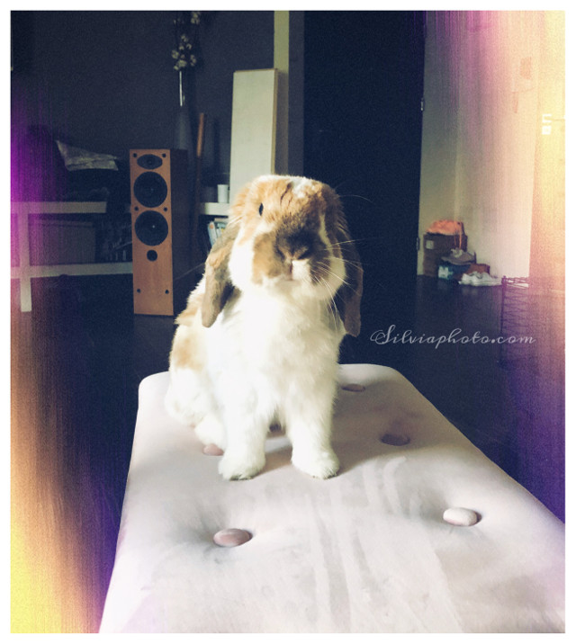 #bunny #fluffy #animals #furryfriends #love #cute #babybunny #rabbit #floppyears #myrabbit #polishgirl