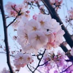 spring cherryblossoms pink beautiful cute freetoedit