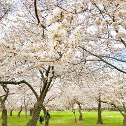 washingtondc cherryblossoms spring