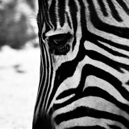 photography animal blackandwhite sandiegozoo