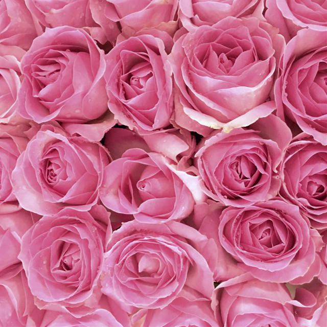 #pink #roses #freetoedit