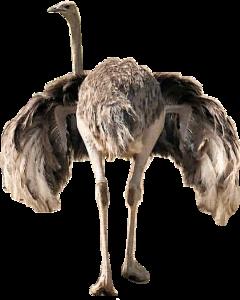 ostrich southafrica animal bird wildlife freetoedit