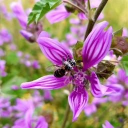 freetoedit flower spring bee natur