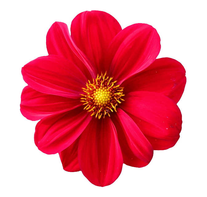 DO NOT COPY MY STICKERS AND MAKE UR OWN⭐️⭐️  #flower #flowers #flowery #redflower #freetoedit