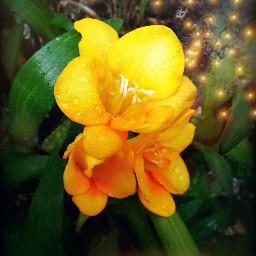 freetoedit myphoto springflowers mygarden freesias