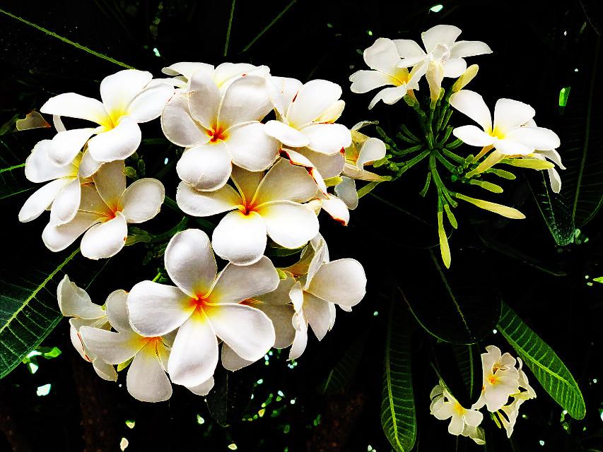 #freetoedit #indianjasmine