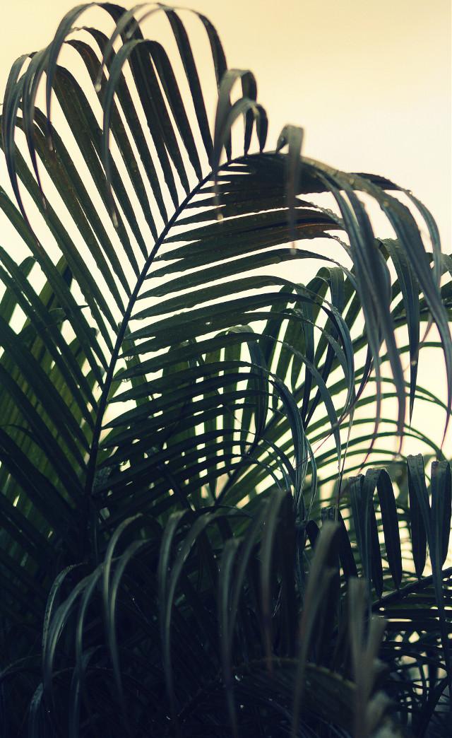 #freetoedit #nature #intothewoods #springshowers #natureislife #palmtreeleaves #againsttheskylight #raindroplets #naturephotography