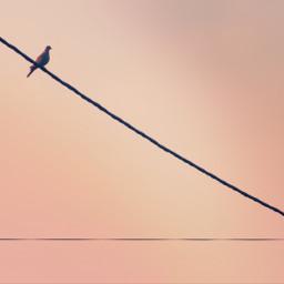 birdonawire sunsetlight minimalism urbannaturephotography freetoedit