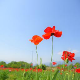 freetoedit nature japan flower poppy