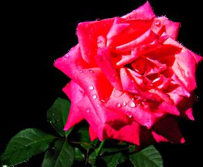 roses rosas freetoedit