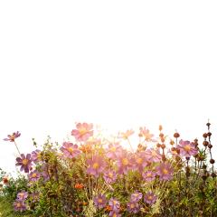 freetoedit doubleexposure flowers sun garden