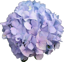 hydrangea sticker beautiful freetoedit