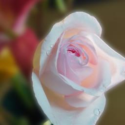 rose flower pinkrose
