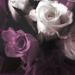 freetoedit roses flowers purple nature