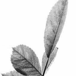 freetoedit blackandwhite leaf delicate beautifulnature