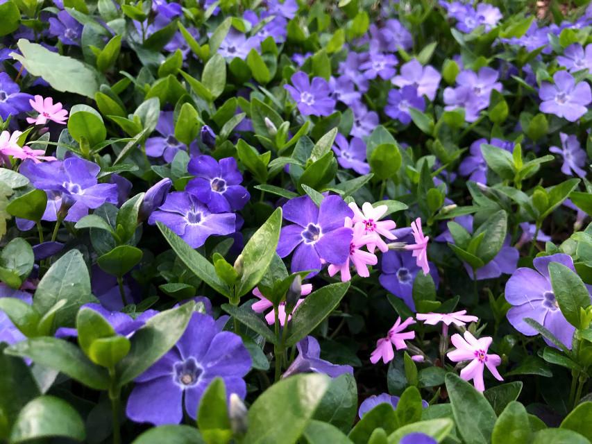 #freetoedit #floralpattern #floralbackground #spring #nature #purple