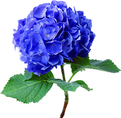 hydrangea flower real blue green freetoedit