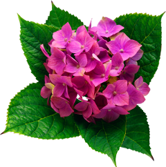 hydrangea flower real pink green