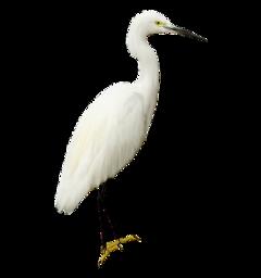 crane egret bird freetoedit