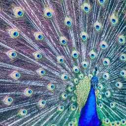 freetoedit bird colorful peacock nature