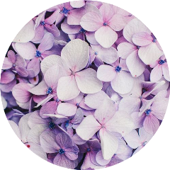 hydrangea purple flower purpleaesthetic purpleflower