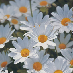 freetoedit nature flowers daisies simpleflowers