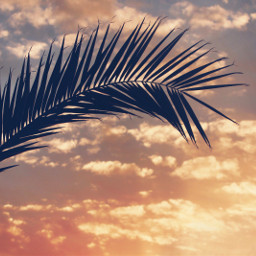 endoftheday goldenhour sunsettime eveningsky palmtreeleaf freetoedit