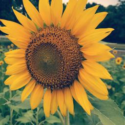 sunflower field yellow nature lightcrosseffect freetoedit