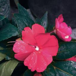 flower nature photography pink picsart freetoedit