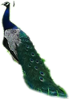 peacock beautiful majestic bird freetoedit