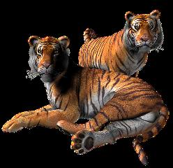 tigre tiger animal selvagem wild